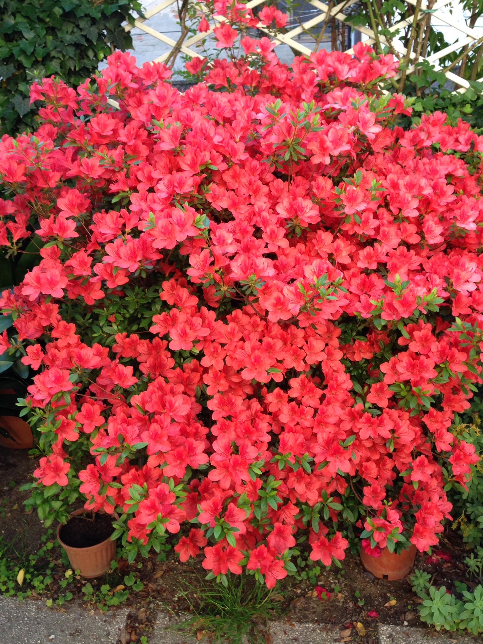 Alberi Ornamentali Da Giardino piante e fiori, giardinaggio - fioravanti garden